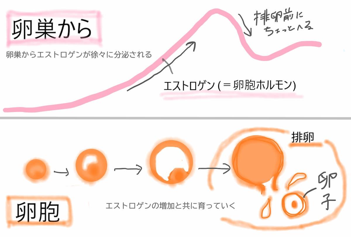 卵胞の成長